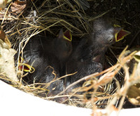 Baby Junco birds